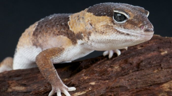African Fat Tailed Gecko