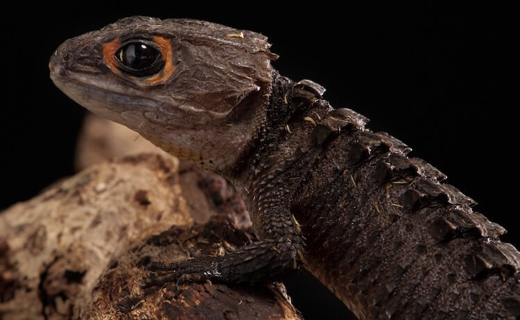 Appearance Of A Red-Eyed Crocodile Skink