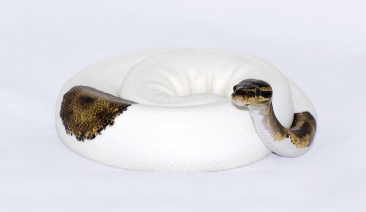 Ball Python Pied