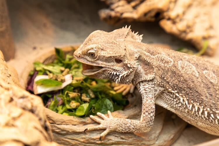 Bearded Dragon Eating Food