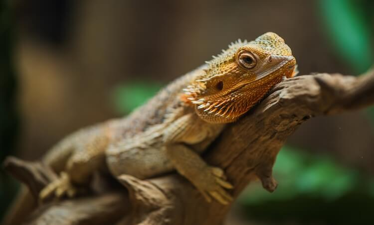 Bearded Dragon Resting On A Stick