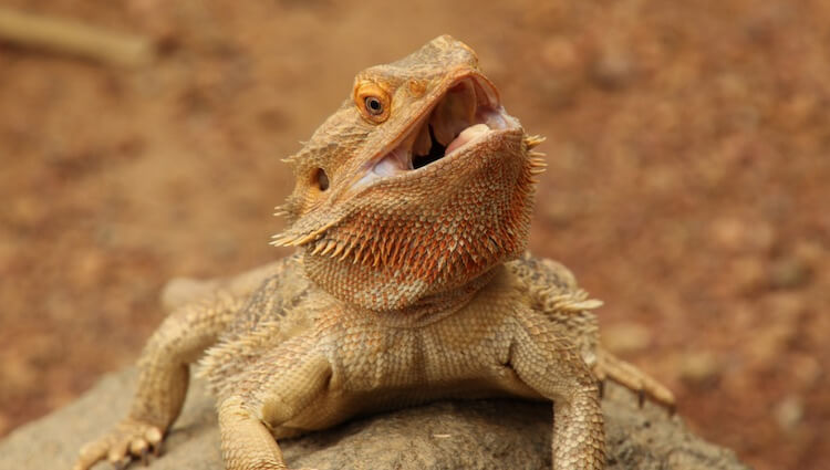 Bearded Dragon's Mouth Wide Open
