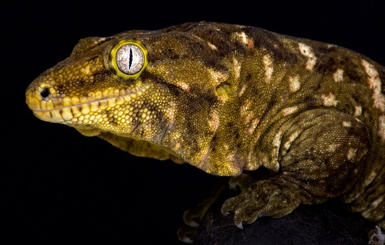 Black and Yellow Leachie Gecko