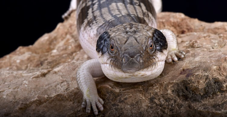 Face Of A Blue-Tongued Skink