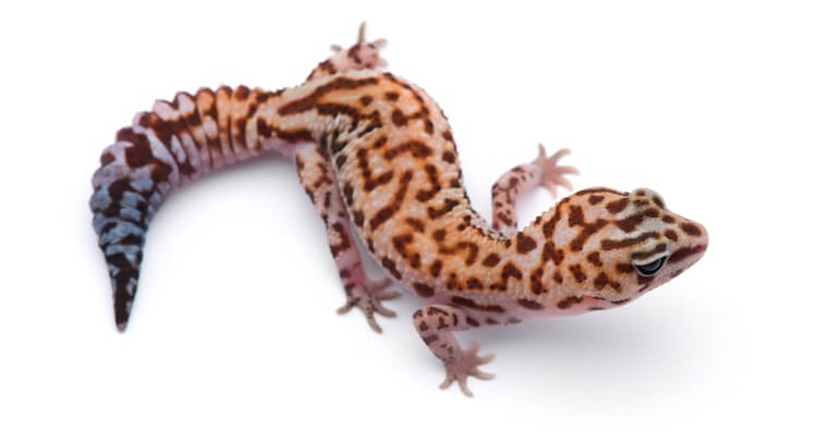 Leopard African Fat-Tailed Gecko