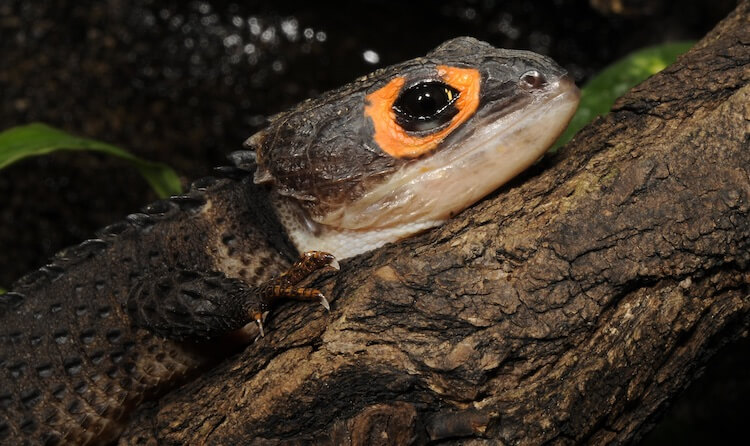 Red-Eyed Crocodile Skink On A Branch