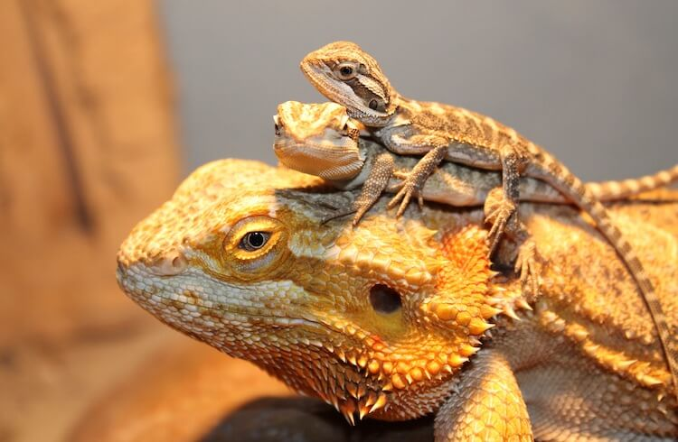 Two Bearded Dragon Babies