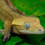 Yellow Tiger Crested Gecko