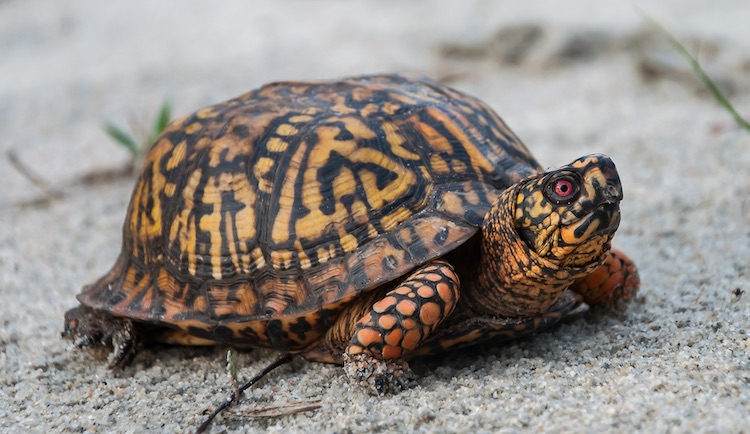 Adult Eastern Box Turtle