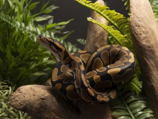 Common Ball Python in an enclosure
