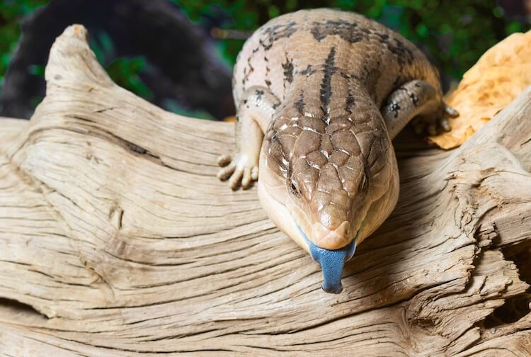 Blue-Tongue Skink