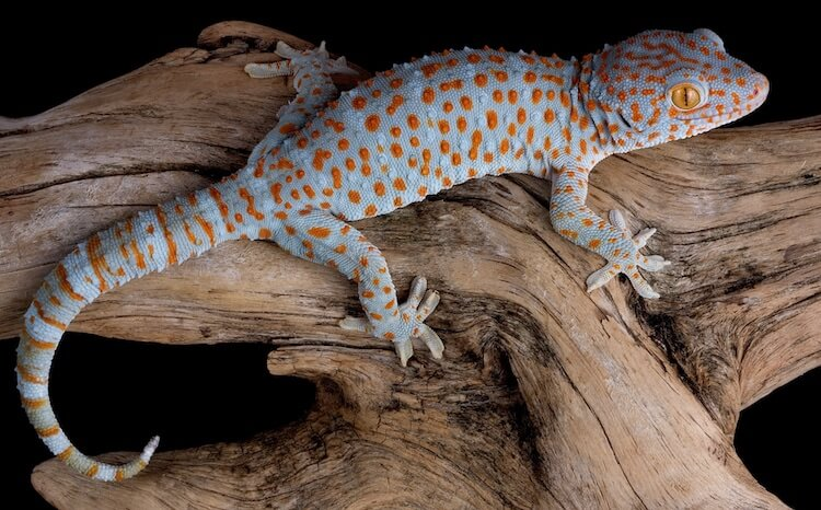Blue and Red Tokay Gecko