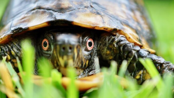Box Turtle Feature