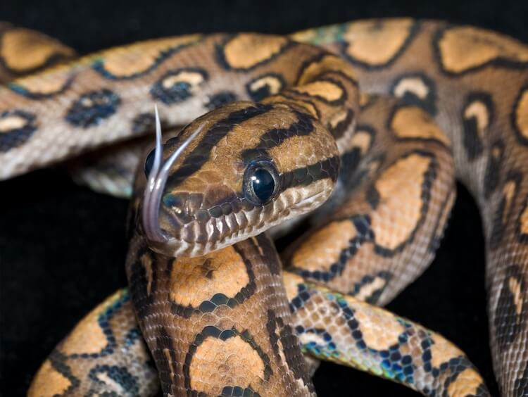 Brazilian Rainbow Boa Forked Tongues