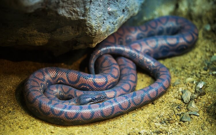 Brazilian Rainbow Boa In A Tank