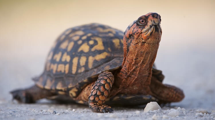 Eastern Box Turtle On Sand