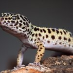 Leopard Gecko Feature