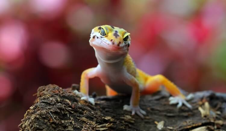 Leopard Gecko On A Branch