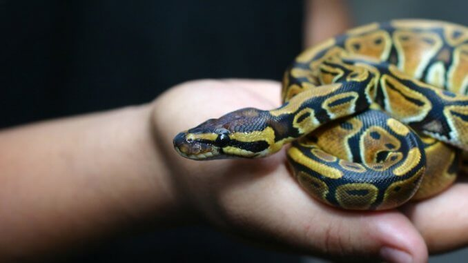 Most Popular Pet Snakes