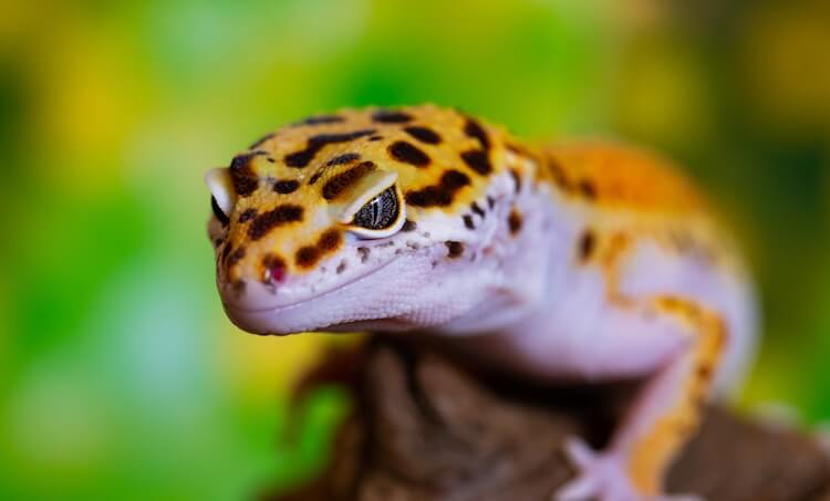 Portrait Of A Leopard Gecko