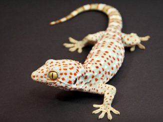 Tokay Gecko Feature