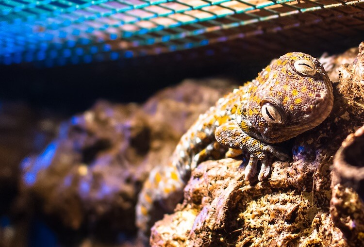 Tokay Gecko In A Cage