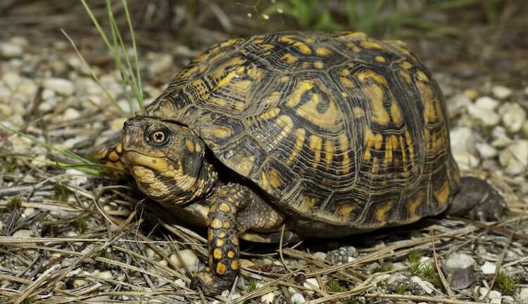 Wild Box Turtle In The Forest