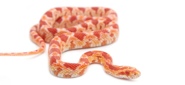 Young Albino Corn Snake Hunting