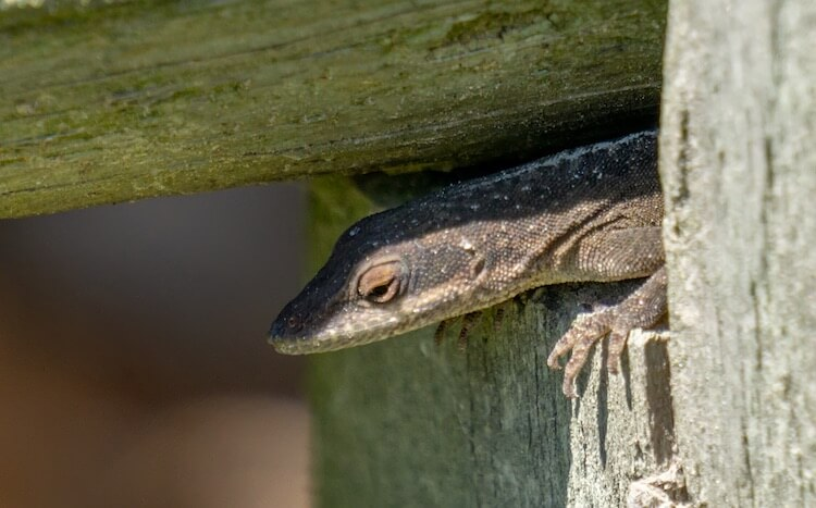 Brown Anole Close Up