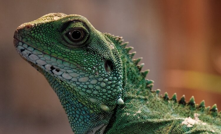 Chinese Water Dragon Face