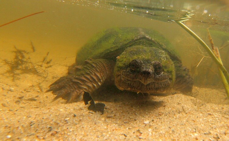 Common Snapping Turtle Underwater