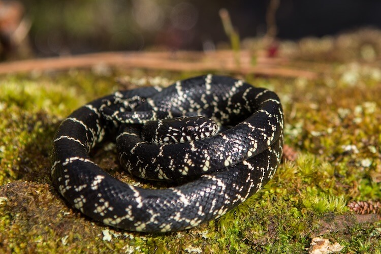 Eastern Kingsnake Feature