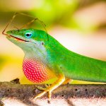 Green Anole Eating A Cricket