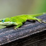 Green Anole In The Wild