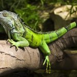 Green Iguana Feature