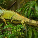 Green Iguana In Cage