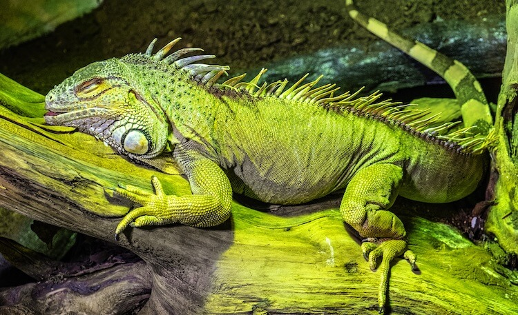 Green Iguana Care Guide: Diet, Cage, Size & Facts ...