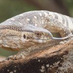 Savannah Monitor Full Grown