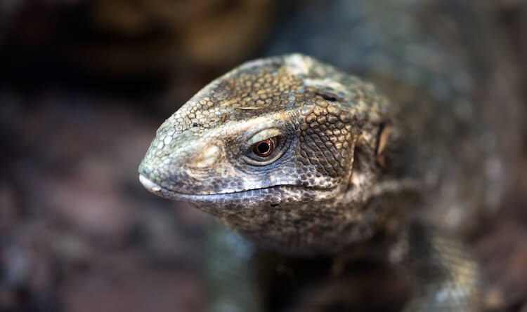 Savannah Monitor Portrait