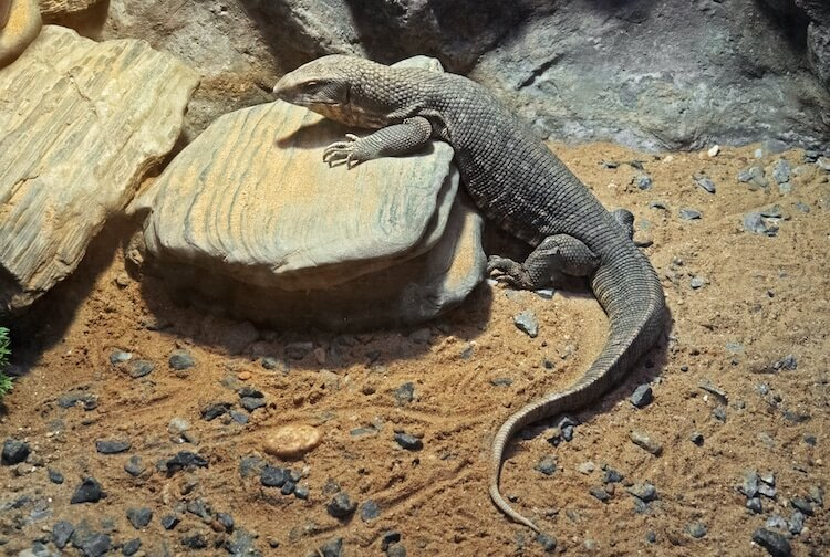 Savannah Monitor on Stone