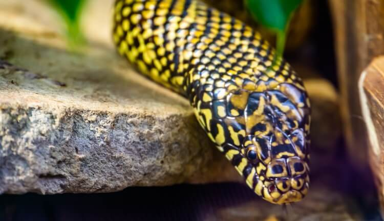 Speckled Eastern Kingsnake