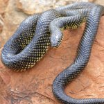 Speckled Kingsnake