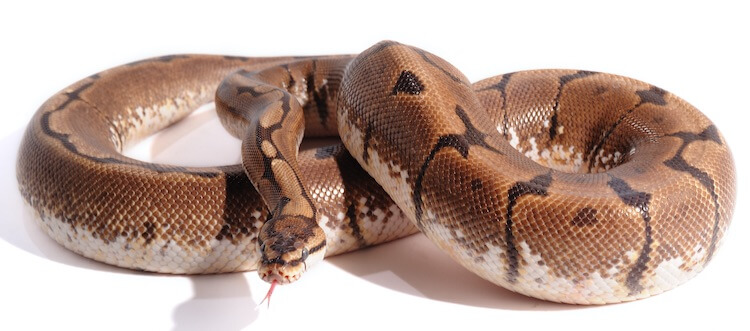 Top 50 Ball Python Morphs The A Z Morph Color List Everything Reptiles