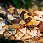 Two Copperhead Snakes