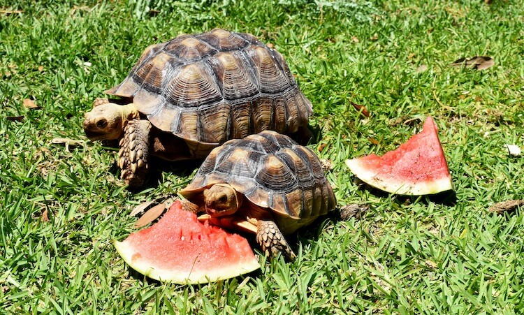 Baby Box Turtle Eating Watermelon