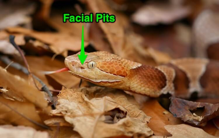 Baby Copperhead Facial Pits