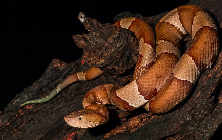 Baby Copperhead Snake