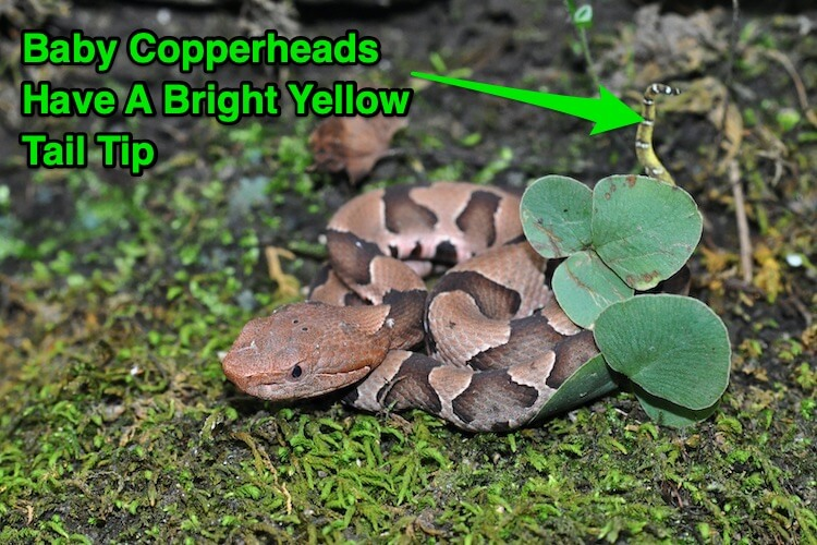 Baby Copperhead Tail