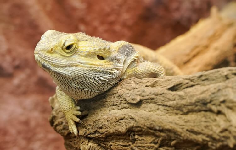 Bearded Dragon In An Enclosure