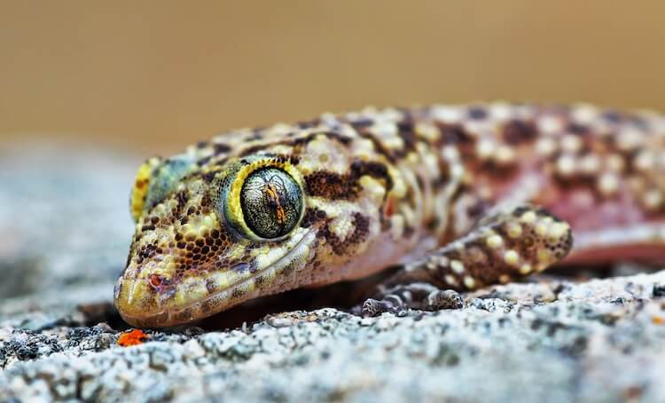 Close up Portrait of Mediterranean House Gecko